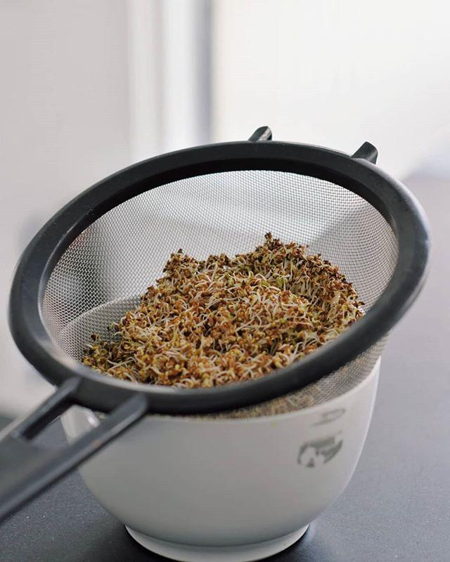 Odla groddar
